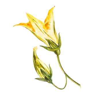 野菜のカボチャの花。白で隔離される水彩イラスト
