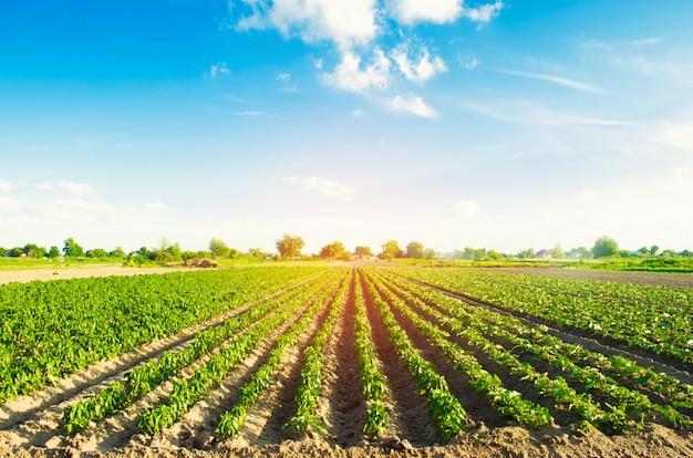Растительные ряды перца растут в поле. земледелие, сельское хозяйство.