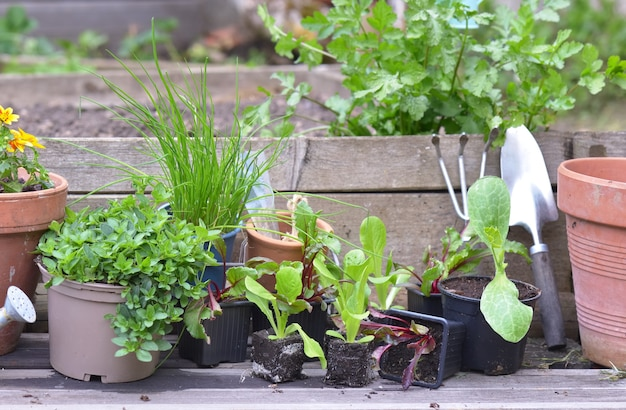 Vegetable seedlings and aromatic plant with gardening equipment on a plank in a garden