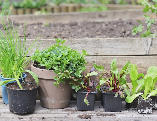Vegetable seedlings and aromatic plants in the garden
