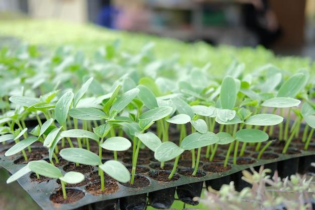 農場の苗床温室で育つ野菜の芽苗植物