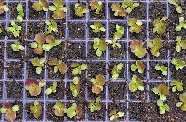 Vegetable sprouts in development by hydroponics