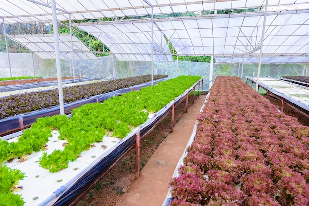 Vegetables growing with hydroponic gardening system.