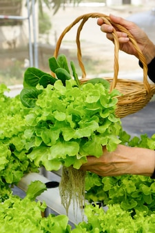 야채 수경법. 무기 영양소 용액을 사용하여 물에서 식물을 재배하지 않고 식물 재배