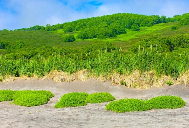 캄차카 태평양 연안의 모래에 있는 식물