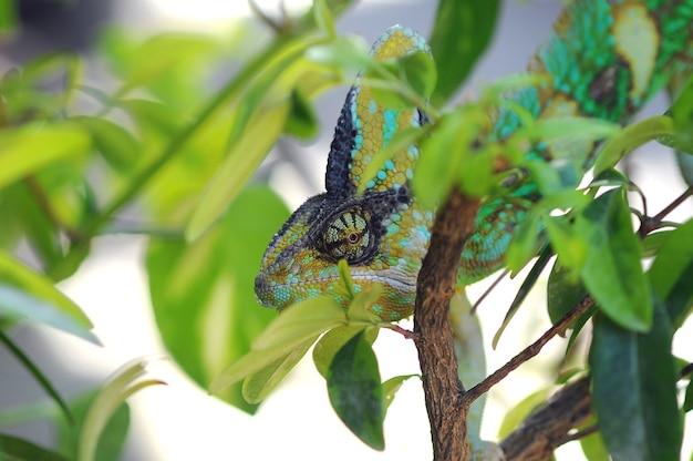カモフラージュの葉の間のエボシカメレオン