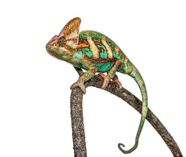 Veiled chameleon, chamaeleo calyptratus, isolated on white