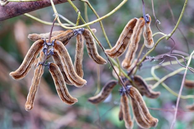 ビロードの豆