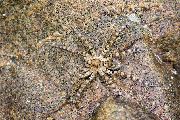 岩の上のリバーハントレスクモ(venatrix arenaris)の画像。昆虫動物