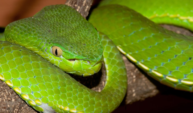 Venomous pit viper close-up portrait
