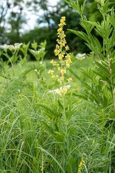 オーガニックガーデンで黄色い花を持つverbascum、モウズイカの背の高い花。開花中