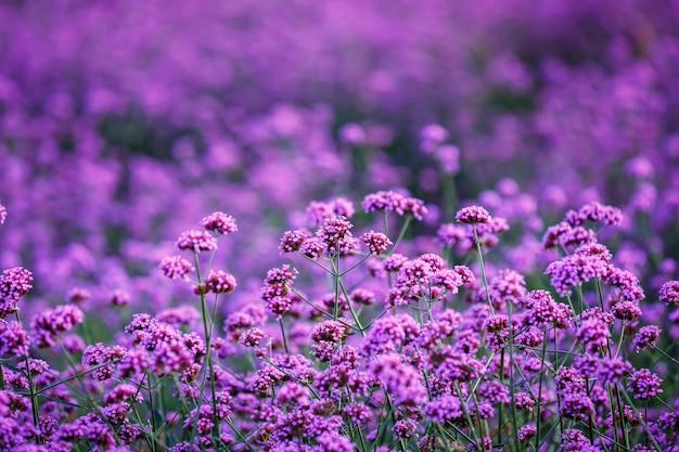 Verbena bonariensis flowers garden field