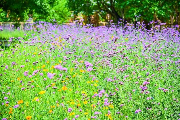公園で紫色のverbenabonariensis