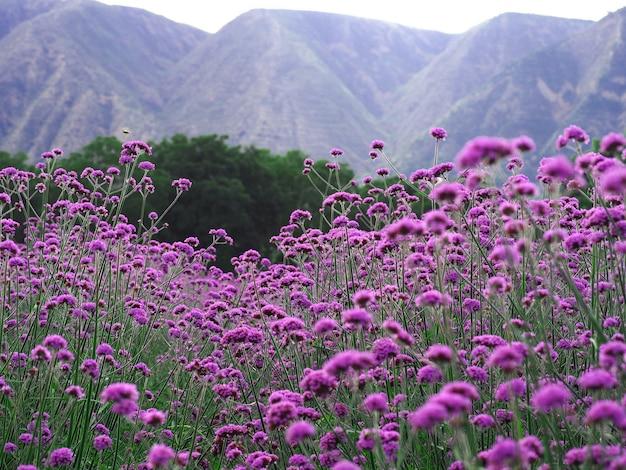 정원에서 마편초 꽃