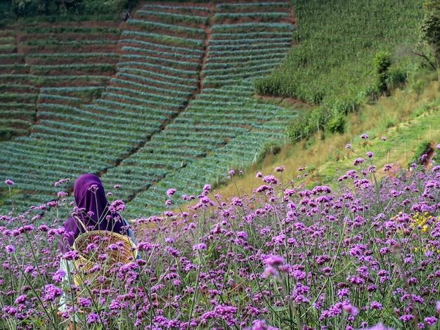 バーベナの花。バーベナピンクと紫の花の背景