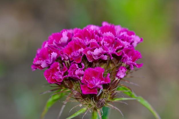 정원에서 버베나 꽃