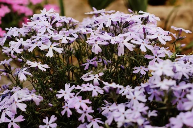 バーベナハイブリダ、青-紫の花