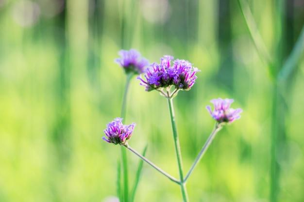 自然の美しい庭のバーベナ
