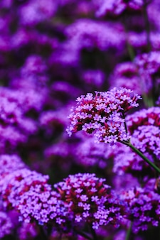 Verbena is blooming and beautiful in the rainy season.
