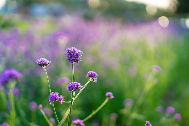 Verbena purple flowers on beautiful bokeh nature