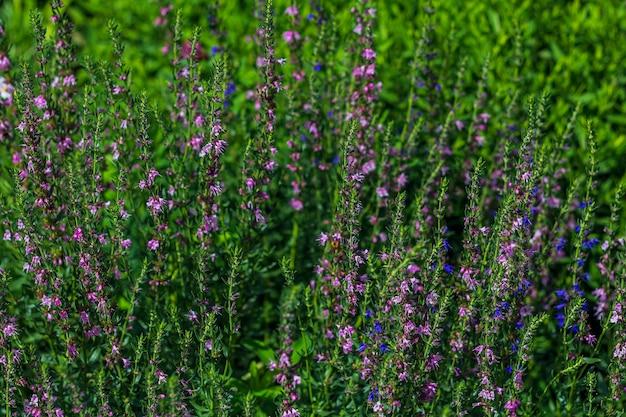 Verbena sage (salvia verbenaca) is perennial plant, species of genus sage of lamiaceae family. purple flower blooming in meadow on green grass background