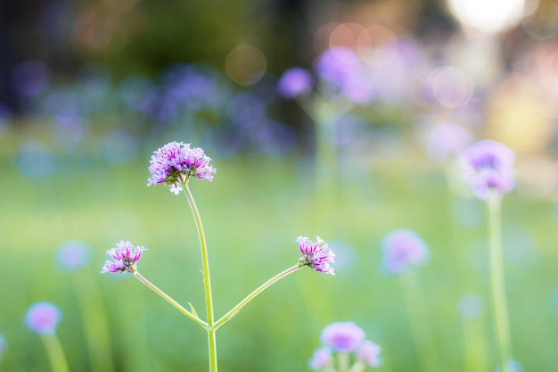 Verbena花の美しい。