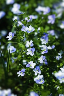 Veronicafiliformisの花-庭に小さな青い花が咲きました。春のテーマの自然な背景。セレクティブフォーカスのソフト画像。