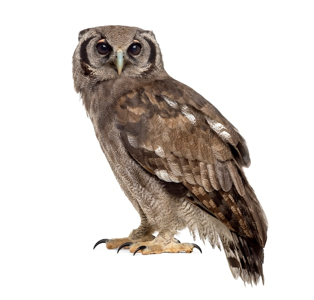Verreaux's eagle-owl - bubo lacteus (3 years old) in front of a white surface