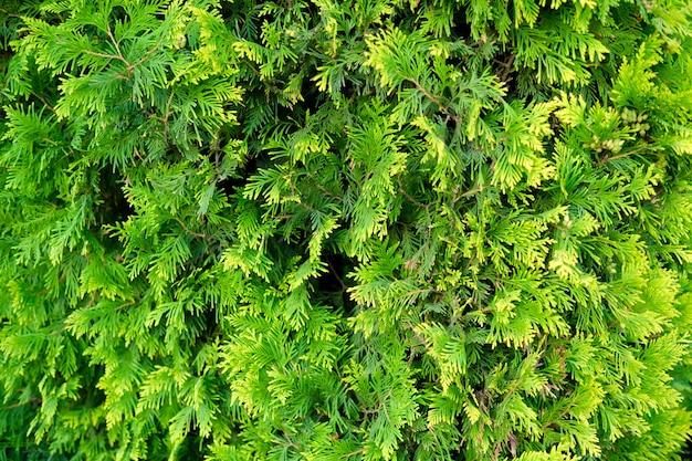 장식용 뒤뜰 정원에 있는 회양목 덤불의 다재다능한 녹색 신선한 벽