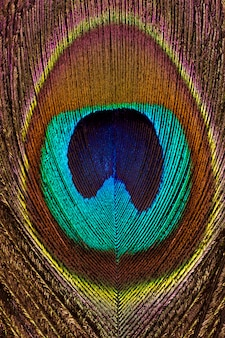 Vertical background of peacock bright and colorful feathers close-up.