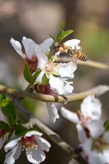 Vertical  of a bee on an apricot blossom in a garden under the sunlight