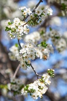 Verticale di un'ape su un fiore di albicocca in un giardino sotto la luce del sole