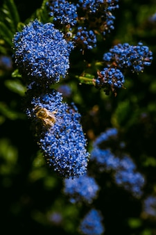 Vertical  of a bumblebee perched on a bloom of a ceanothus flower