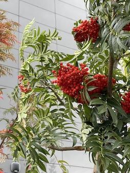 나무에 신선하게 익은 붉은 마가목 열매의 수직 클로즈업