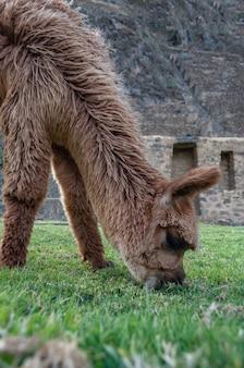 Вертикальный снимок крупным планом пушистой коричневой ламы, едящей траву