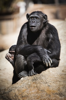 Vertical closeup of chimpanzees sitting on a rock during a sunny day