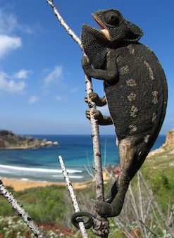Vertical closeup of a common chameleon on a tree branch in ghajn tuffieha bay in malta