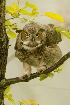 Vertical closeup of a great horned owl standing on a tree branch under the sunlight
