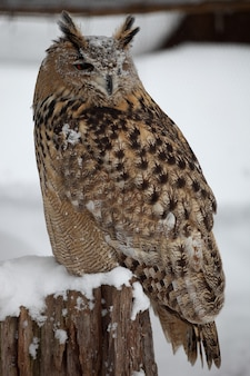 Vertical closeup of a great horned owl standing on the wood during the snowfall