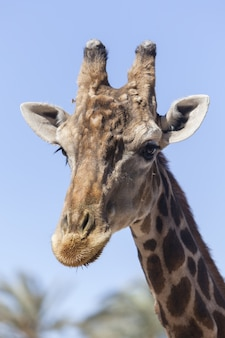 Vertical closeup of the head of a giraffe during a sunny day