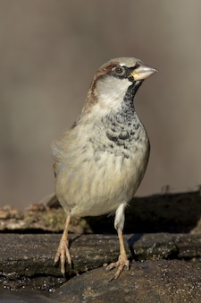 Vertical closeup of a house sparrow standing on the rocks under the sunlight