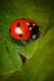Vertical closeup of a ladybird beetle on a leaf
