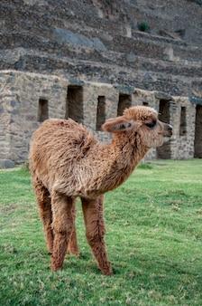 Вертикальный крупный план милой пушистой коричневой ламы, стоящей в траве