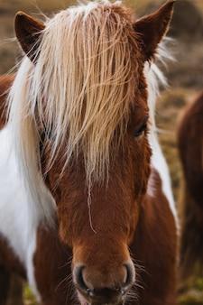 햇빛 아래 아이슬란드 말의 수직 근접 촬영
