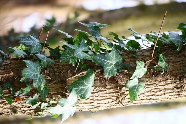 아이비의 수직 근접 촬영은 햇빛 아래 나무에 나뭇잎
