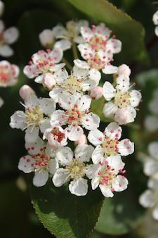 Colpo verticale del primo piano dei fiori di aronia con uno sfondo sfocato