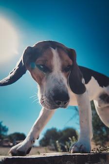 Vertical closeup shot of beagle dog standing on a concrete
