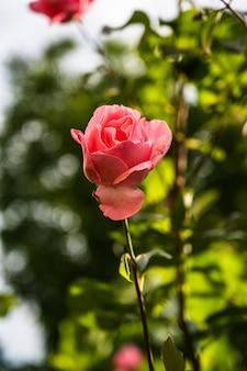 Colpo verticale del primo piano di una bella rosa rosa che fiorisce in un giardino su uno sfondo sfocato