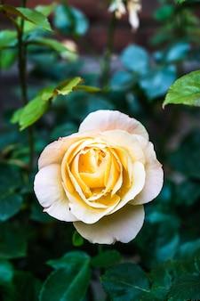 Vertical closeup shot of a beautiful yellow rose blooming in a garden