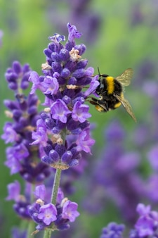 Vertical closeup shot of a bee on a lavender flower with greenery on the background